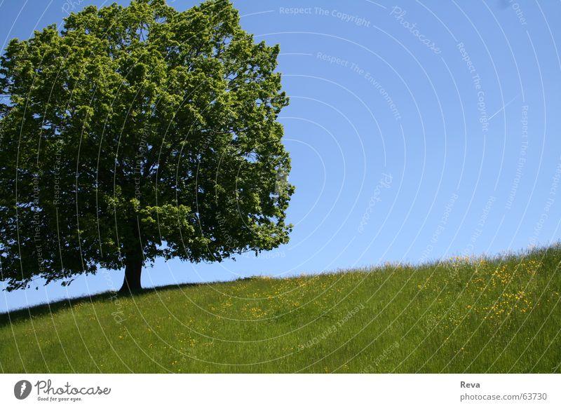 Einsam Baum Sommer grün groß gelb Hügel Blatt Einsamkeit Physik Himmel blau Baumstamm Schatten Schönes Wetter Wärme