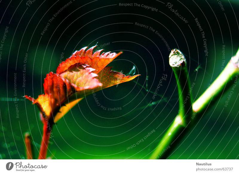 Farbensymbiose Natur grün Pflanze rot Blatt Herbst Stengel