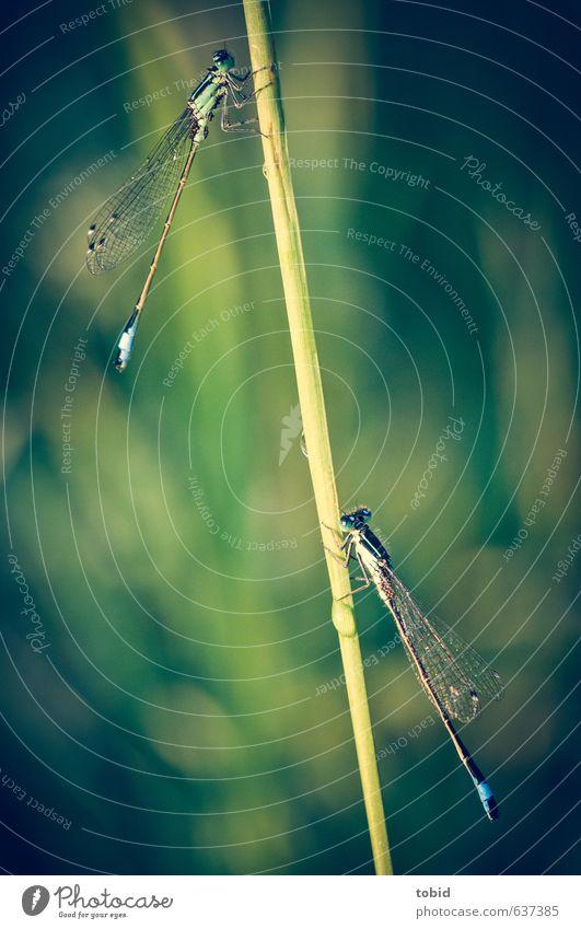 gemeinsam Abhängen ... Natur blau grün Tier Schönes Wetter ästhetisch Libelle Azurjungfer Libellenflügel