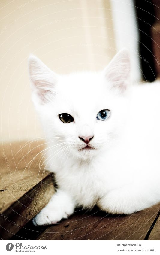 Zwei-Äuger weiß blau Auge gelb Farbe Schnee klein Katze braun Ohr niedlich Neugier Pfote Türkei Hauskatze Schock