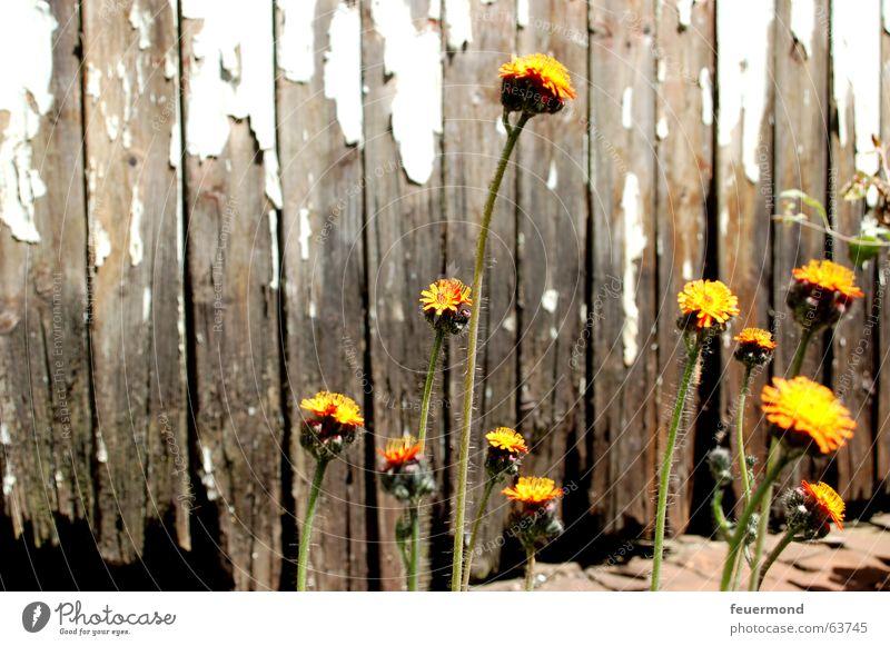 Ein kleines bisschen Leben... Blume Blüte Pflanze gelb Überleben Blatt Holz kaputt live orange Farbe alt Tor Holzbrett flower bloom old broken