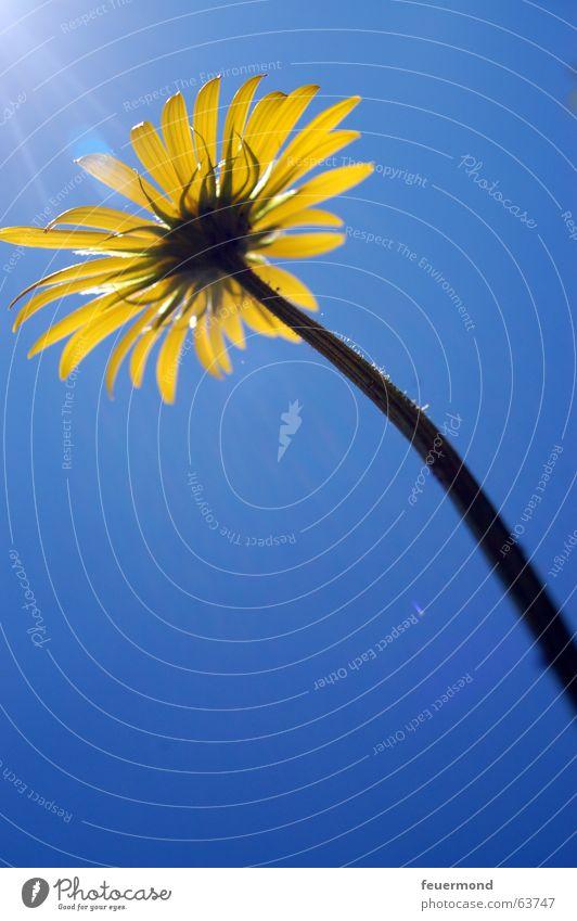 """""""Sonnenblümchen"""" Blume Blüte Stengel Blütenblatt gelb groß Sonnenstrahlen blau Himmel Beleuchtung bloom flower"""