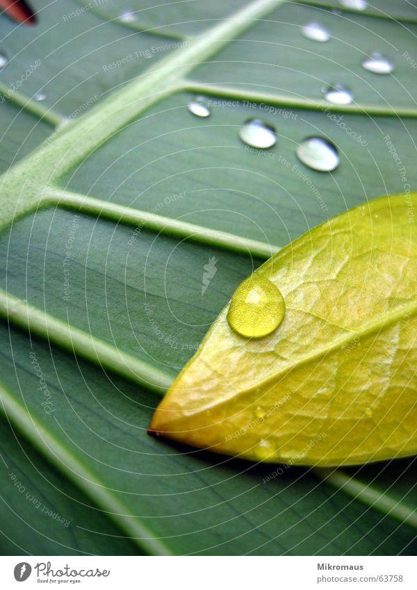 Tropfen oder Träne 4 Herbst Sommer Blatt Baum Pflanze Natur Grünpflanze Topfpflanze Gefäße Blattadern Wassertropfen Tränen nass Regen Trinkwasser Tau feucht