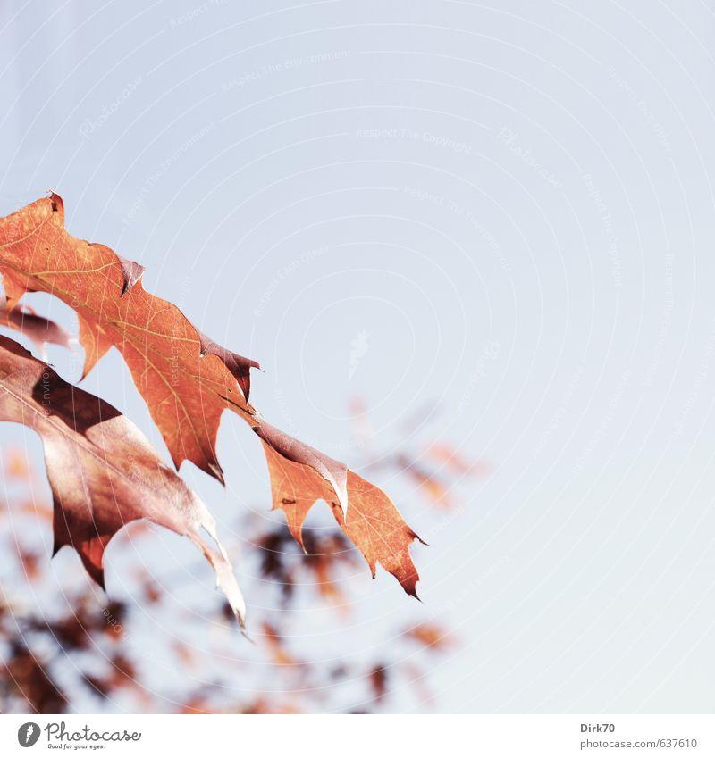 Roteiche, ... Natur Pflanze Herbst Schönes Wetter Baum Blatt Wildpflanze Eiche Eichenblatt Herbstlaub Herbstfärbung herbstlich Ast Zweig Park alt leuchten