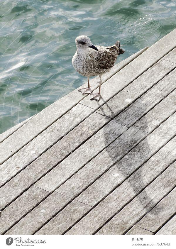 Schulterblick mit Schattenwurf Tier Wasser Sonnenlicht Schönes Wetter Wellen Meer Mittelmeer Steg Holzweg Wildtier Vogel Möwe 1 Tierjunges beobachten stehen