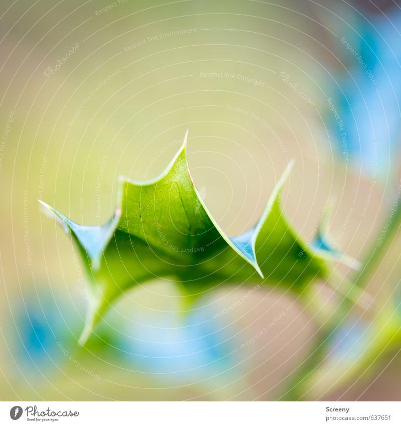 Don't touch! Umwelt Natur Pflanze Sträucher Stechpalme Wald Aggression stachelig grün Sicherheit Schutz gefährlich Respekt Feindseligkeit Stachel Blatt Farbfoto