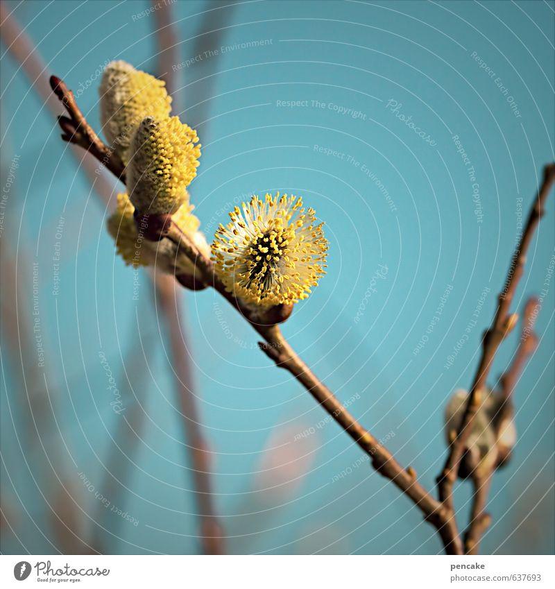 katzentag Natur Pflanze Urelemente Himmel Wolkenloser Himmel Frühling Baum Sträucher Blüte ästhetisch Zufriedenheit Duft Weidenkätzchen Blühend Zweige u. Äste