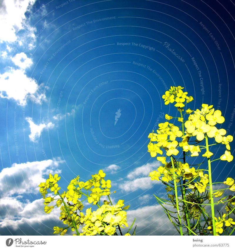 Ein Blumenstrauß für die Dame des Hauses, Himmel Wolken Blüte Feld Landwirtschaft Weltall Blumenwiese Raps Honig
