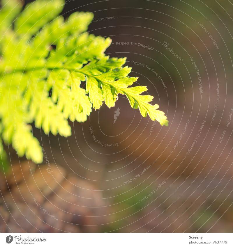 Farn gelassen... Natur Frühling Pflanze Grünpflanze Wildpflanze Wald elegant braun grün Frühlingsgefühle Gelassenheit ruhig Reinheit Wachstum Farbfoto