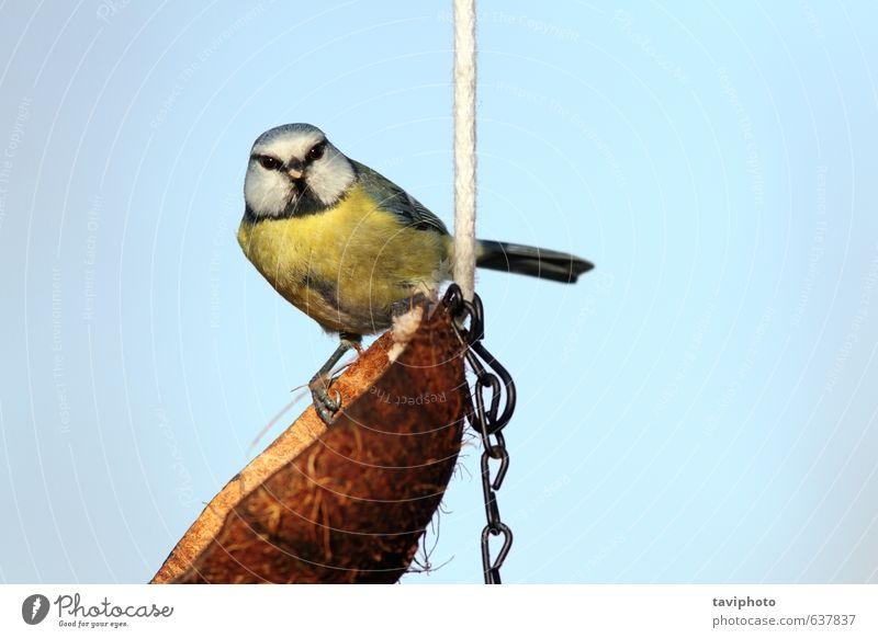 Himmel Natur blau schön grün Tier Winter gelb klein braun Vogel frei niedlich Lebewesen Körperhaltung Appetit & Hunger