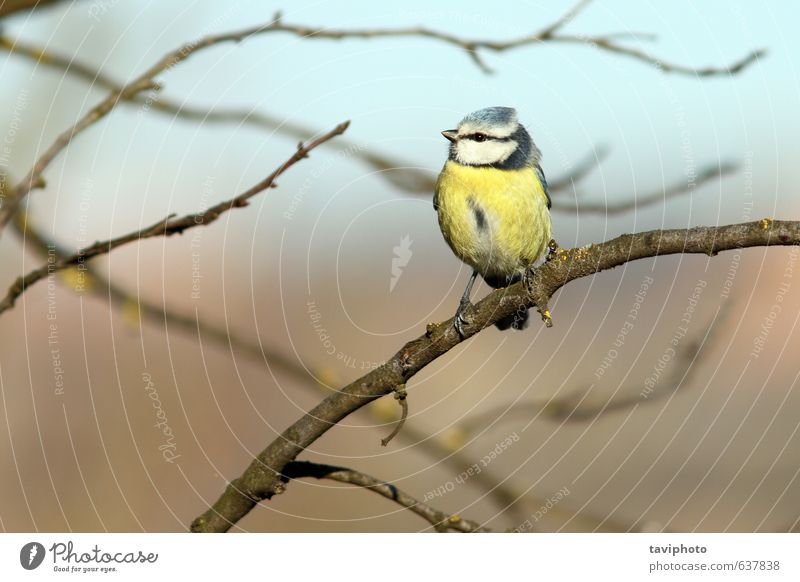 Blaukehlchen im Baum gehockt schön Leben Winter Garten Umwelt Natur Landschaft Tier Wald Vogel klein natürlich wild blau gelb Farbe Blaumeise Tierwelt Zweig