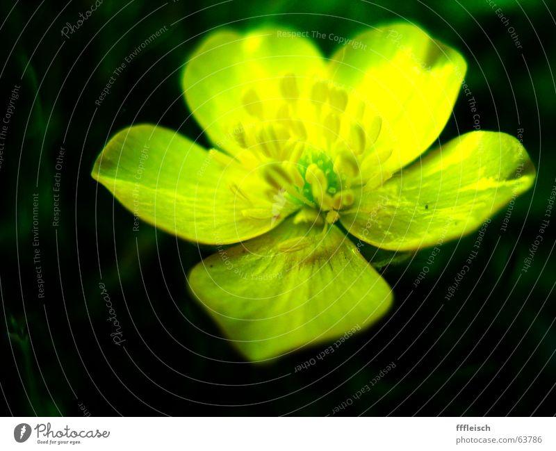 Gelbe Blume Blume grün Sommer gelb dunkel Wiese Wärme klein Physik
