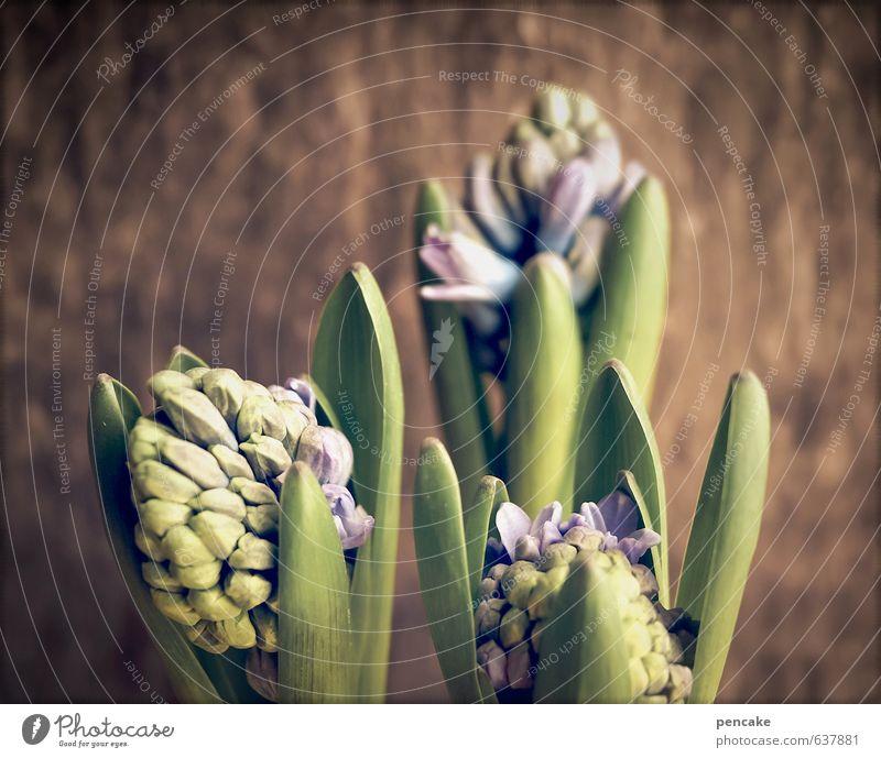 auftakt Kultur Natur Pflanze Frühling Topfpflanze Holz Zeichen Glück Fröhlichkeit Frühlingsgefühle Vorfreude Begeisterung Hyazinthe Blütenknospen Blühend