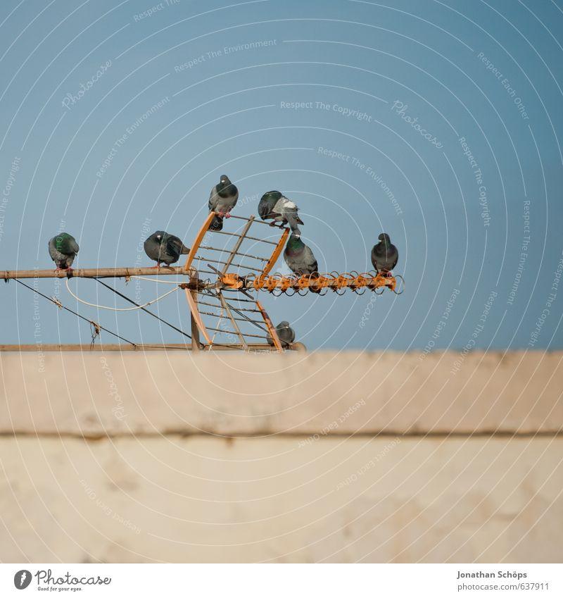 Puerto de la Cruz / Teneriffa IV blau Sommer Erholung ruhig Tier Wand Gebäude Architektur Mauer braun Vogel Zufriedenheit sitzen Dach Tiergruppe Spanien