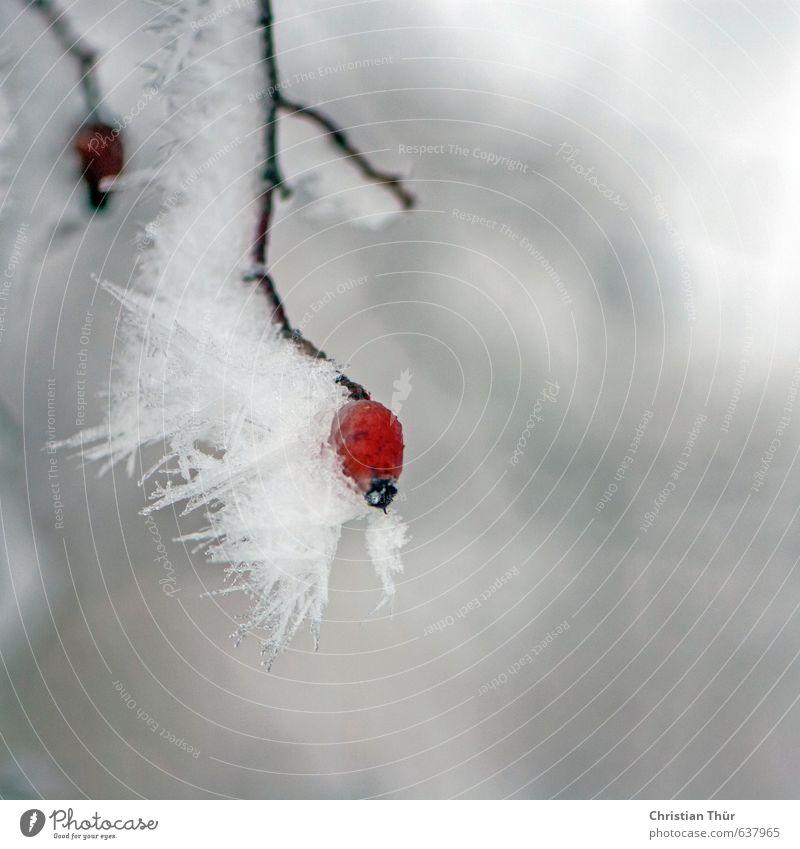 Winterfrost Umwelt Natur Pflanze Tier Eis Frost Schnee Sträucher Wildpflanze schön braun grau rot weiß Gefühle Stimmung ästhetisch Inspiration kalt Eiszapfen