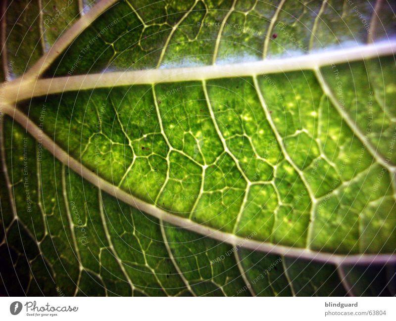 Adern Blatt grün Makroaufnahme Pflanze Gefäße Blattgrün Licht Wachstum Versorgung Ernährung Sonnenblume Photosynthese Nahaufnahme Leben Strukturen & Formen