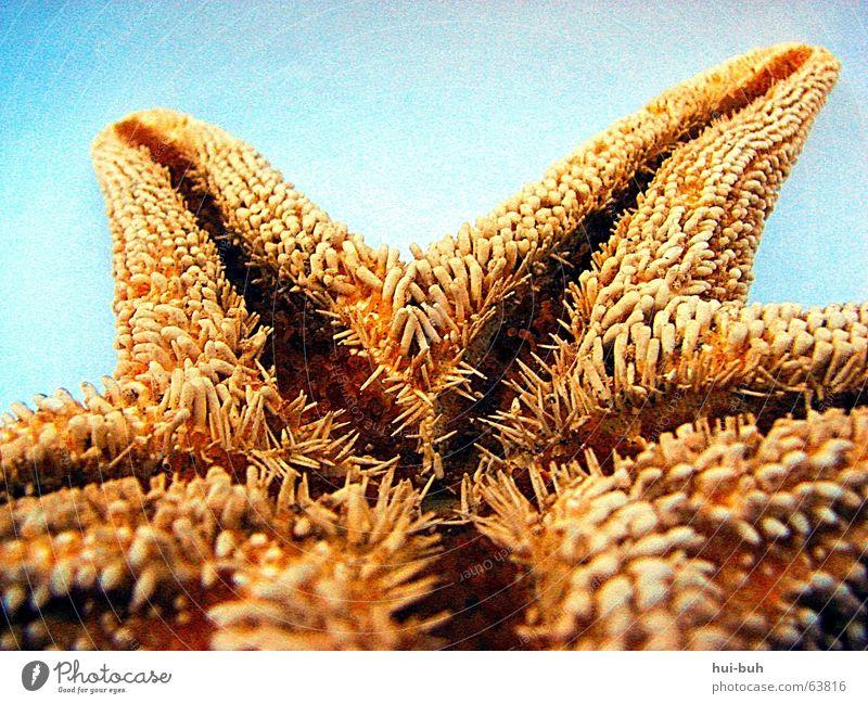 Mein kleiner stacheliger Freund Meer blau gelb 5 stachelig Dänemark Zacken Meerwasser Speiseröhre Seestern