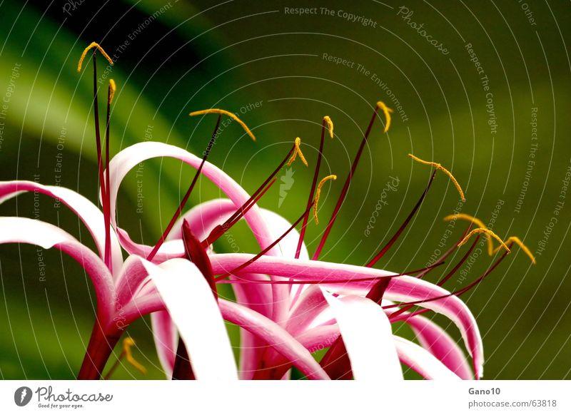 Windsong schön weiß Spielen Blüte rosa elegant zart Lilien vertikal zerbrechlich geschwungen sensitiv