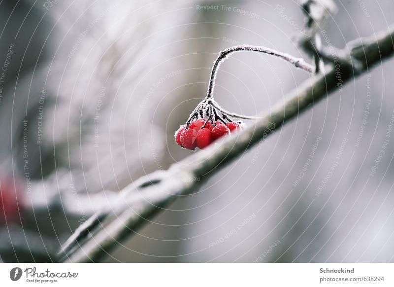Tiefkühlobst Umwelt Natur Landschaft Pflanze Tier Winter Eis Frost Schnee Sträucher Wildpflanze Garten Park kalt tiefgekühlt Beeren rot Farbfoto Außenaufnahme