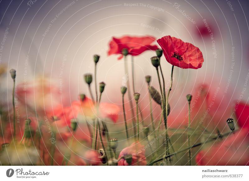 Mohnblumen auf Sommerwiese Sonne Garten Blume Gras Wiese Feld Blühend Duft blau grün rot friedlich Idylle Klatschmohn papaver rhoeas Wiesenblume gartenblume