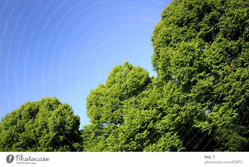 Grüne Ecken Baum grün blau Park Wald Natur Linde Zweig Ast Blatt Sommer tree blue forest