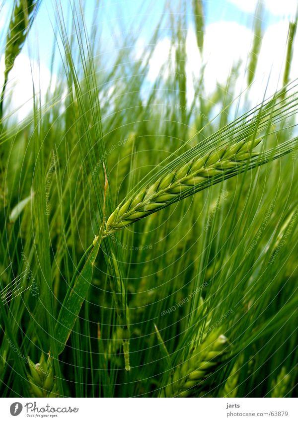 Noch grün hinter den Ähren Kornfeld Feld Sommer Landwirtschaft Natur Getreide Himmel Amerika Bioprodukte jarts