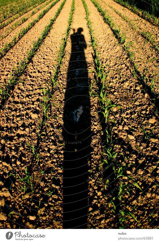 Schatten auf der Flucht Pflanze Wärme Feld Physik Punkt Rennbahn Flucht Fotograf Symmetrie winken Mais Jungpflanze Abendsonne Fluchtpunkt