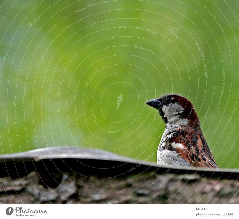 Spatz auf dem Dach grün Holz grau braun Feder beobachten Wachsamkeit Schnabel Tier