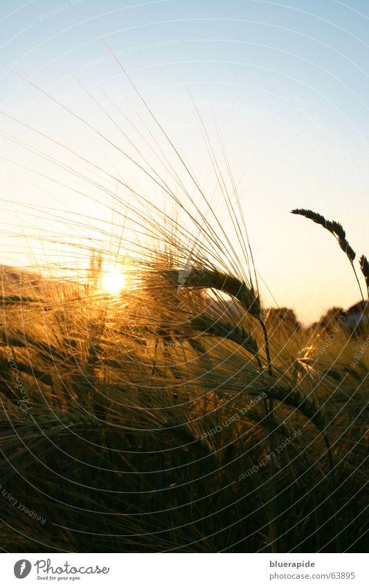 Kornfeld Sonnenuntergang Himmel blau Sonne ruhig gelb Wärme Stimmung gold Feld Getreide Korn Abenddämmerung Weizen Stachel Ähren Abendsonne