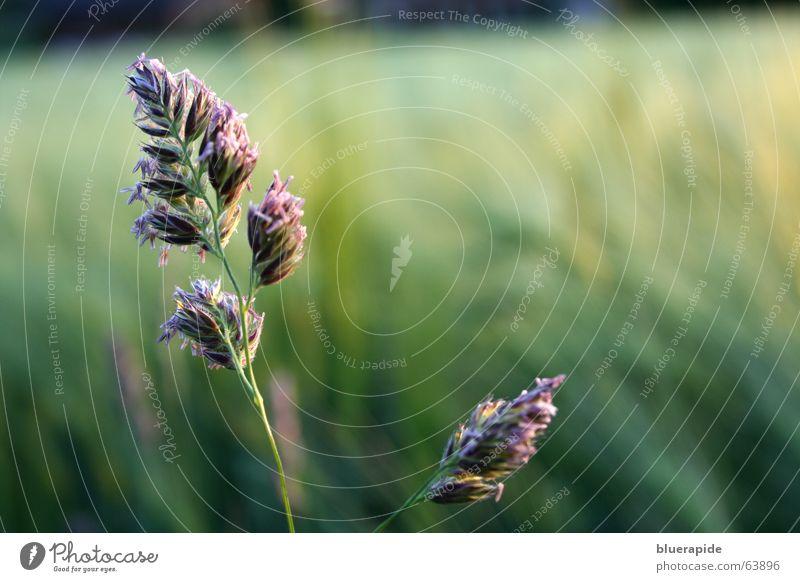 Knaulgras [dactylis glomerata] grün Auge Wiese Gras Feld fliegen Wildtier hoch stehen nah Landwirtschaft Stengel Samen Botanik Pollen Tränen
