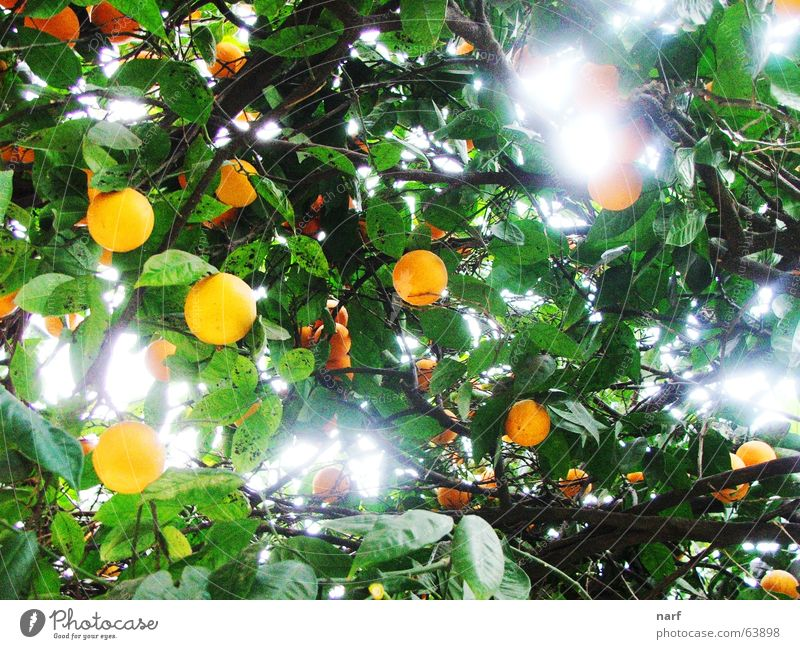 Orange Heaven Licht Mount Eden tree fruits oranges heaven light leaves day agriculture branches garden