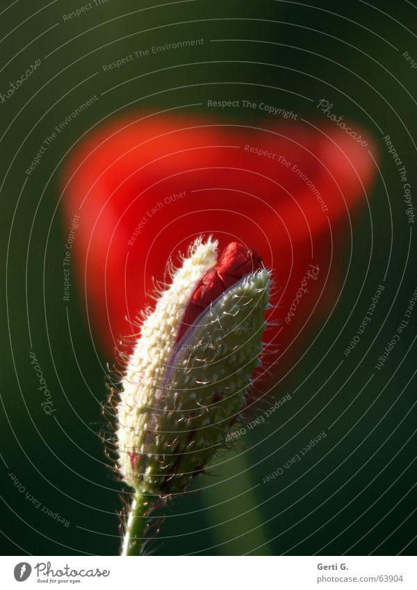 Mohntag schön harmonisch Sommer Garten Natur Pflanze Frühling Schönes Wetter Blume Blüte Blühend stachelig grün rot Gefühle Frühlingsgefühle Leben verwundbar