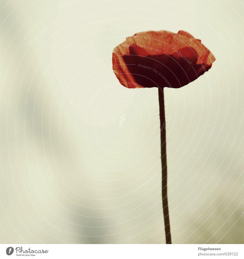 Poppy Umwelt Natur Landschaft Klima Pflanze Blume Gras Sträucher Blatt Blüte Grünpflanze Wildpflanze verblüht Mohn Mohnblüte Mohnfeld Mohnkapsel Mohnblatt