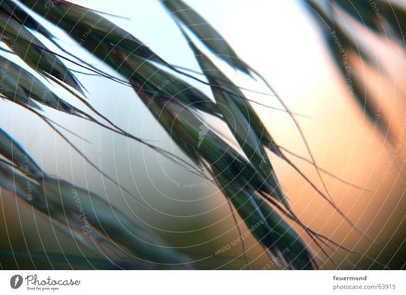 Im letzen Sonnenlicht... Gras Abendsonne Licht Sonnenuntergang Pflanze Stimmung Romantik Korn sundown