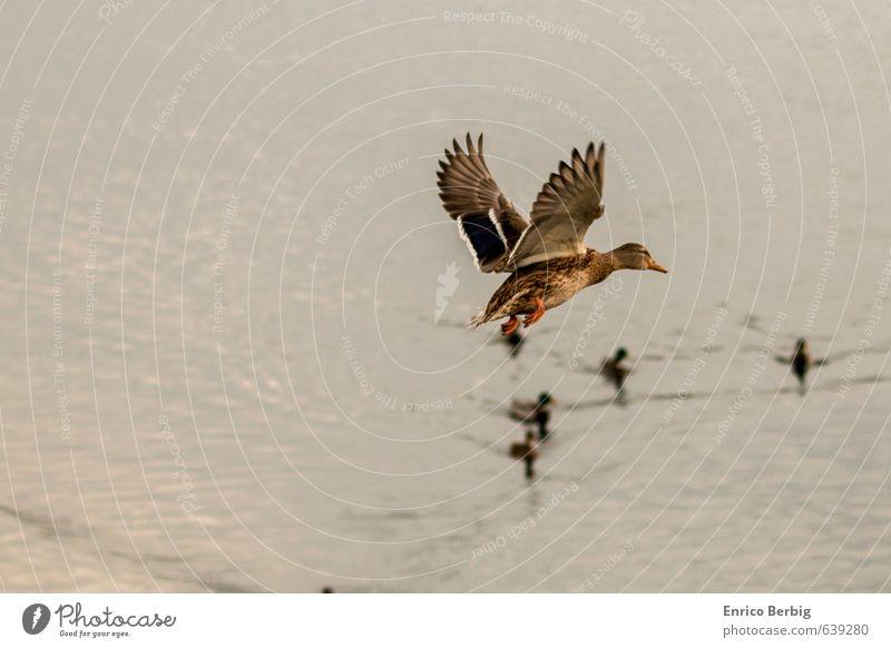 Flug-Ente Umwelt Natur Wasser Fluss Tier Wildtier Vogel Flügel Entenvögel 1 Flüssigkeit wild Abenteuer Luftverkehr Flügelflieger Farbfoto mehrfarbig