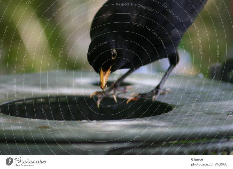 Fast Food Amsel Vogel Müllbehälter füttern