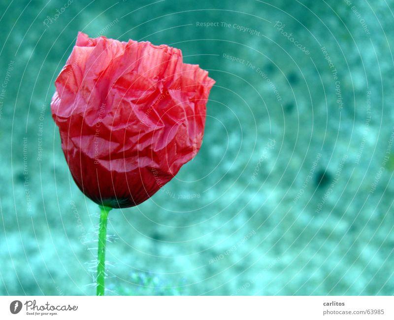 208 Tage photocase- mein erstes Blumenbild rot Einsamkeit Blüte klein Beton Vergänglichkeit Blühend Falte Mohn zerbrechlich Außerirdischer sensibel verblüht