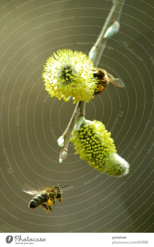 Flugshow Biene Blüte Frühling Schweben springen Luftverkehr frei fliegen Blühend Flügel pollen. bee fly bloom free