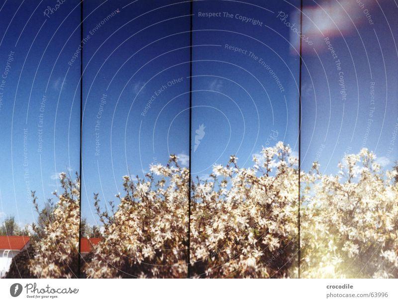 vier von eienm strauch Magnoliengewächse Doppelbelichtung Haus Blüte Frühling Sommer Lomografie supersampler Himmel blau peter alprausch Schönes Wetter