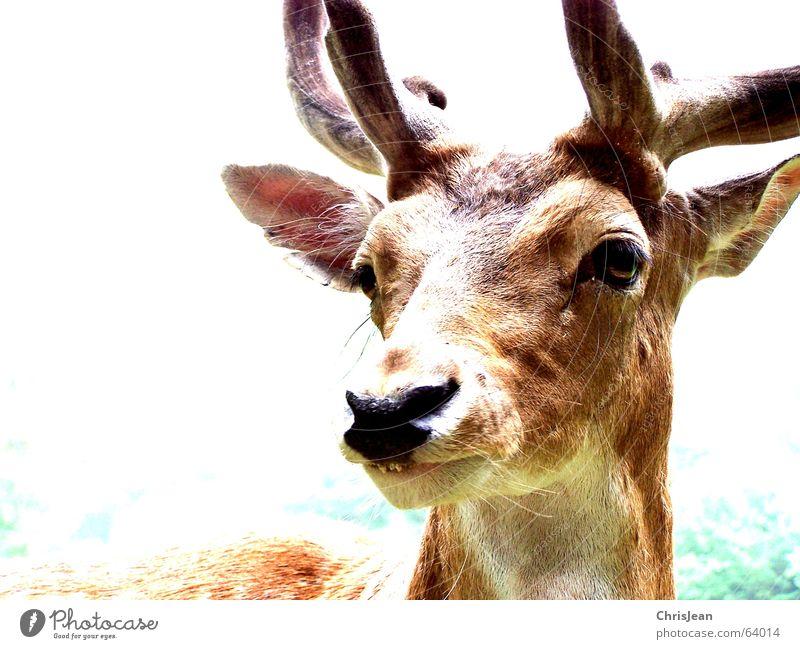 Rudi Hirsche Reh Tier bleich Horn Schnauze erstaunt Leben Hintergrundbild grün braun weiß Überbelichtung Waldtier Bock Elch Wildtier wildness Auge Nase Ohr