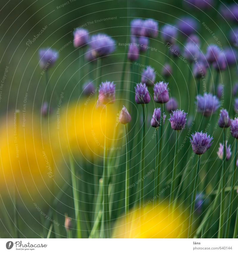wachsen lassen Lebensmittel Umwelt Natur Pflanze Sommer Nutzpflanze Wildpflanze Blühend Duft gelb grün violett Wachstum Schnittlauch Mohnblüte Garten Farbfoto