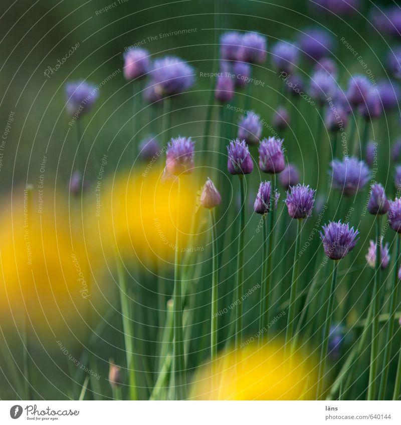 wachsen lassen Natur grün Pflanze Sommer gelb Umwelt Garten Lebensmittel Wachstum Blühend violett Duft Nutzpflanze Wildpflanze Schnittlauch Mohnblüte