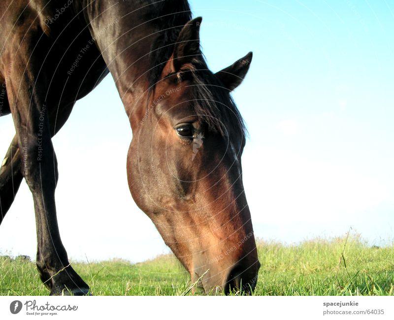 Celestino Natur Ernährung Tier Gras Pferd Rasen Weide Fressen Mähne