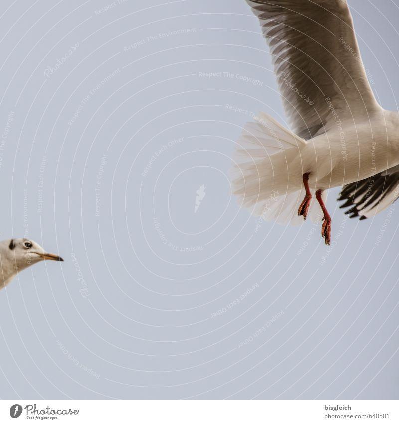 kopflose Jagd Himmel blau weiß rot Tier grau Vogel fliegen Flügel Tiergesicht Jagd Möwe Schnabel Verfolgung