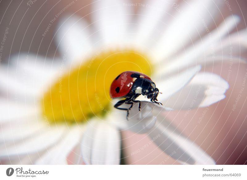 Käfer flieg! Marienkäfer Blüte Insekt Tier rot gelb weiß Pflanze Sommer Blütenblatt planen Makroaufnahme margarite Margerite