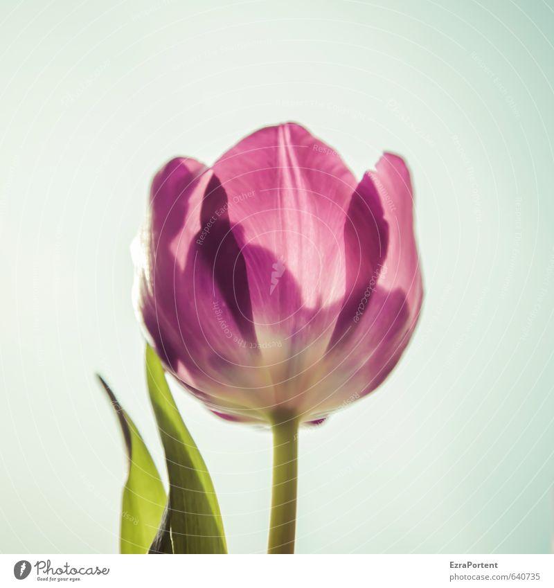 durchleuchtet Umwelt Natur Pflanze Himmel Sonne Frühling Sommer Schönes Wetter Blume Tulpe Blatt Blüte Garten leuchten ästhetisch hell natürlich schön blau grün