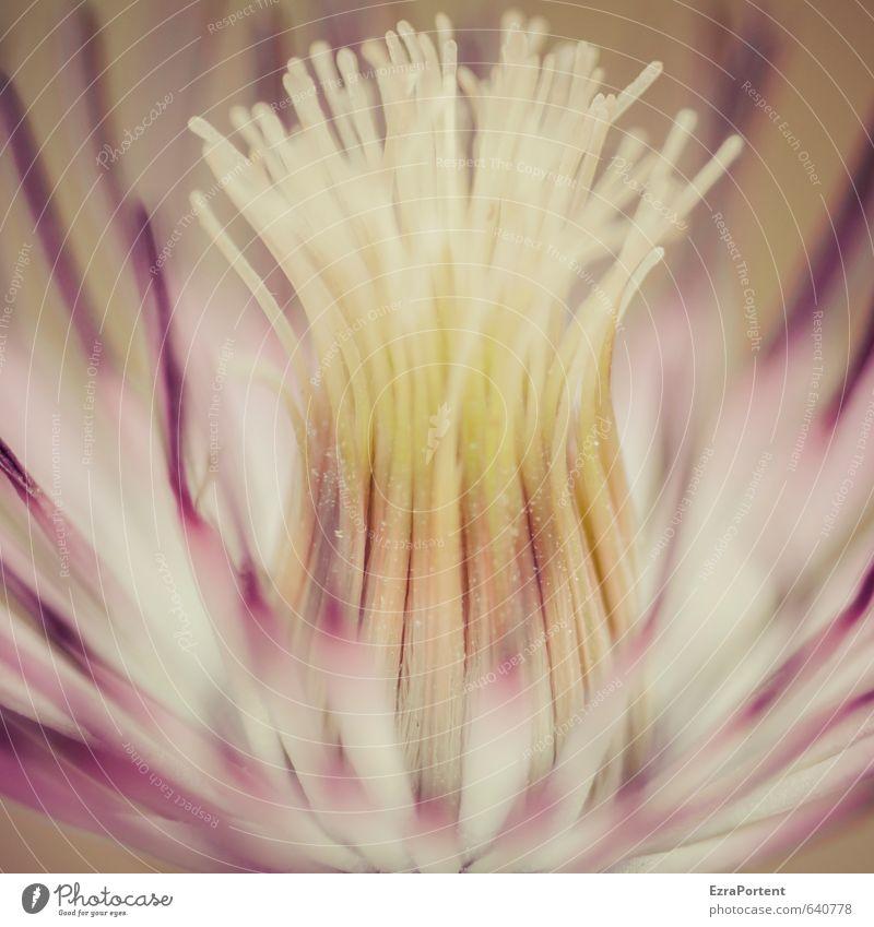 Clematis Umwelt Natur Pflanze Blume Garten ästhetisch natürlich schön gelb rosa weiß Waldrebe Blüte Blütenstempel Blütenkelch Unschärfe verblüht Farbfoto