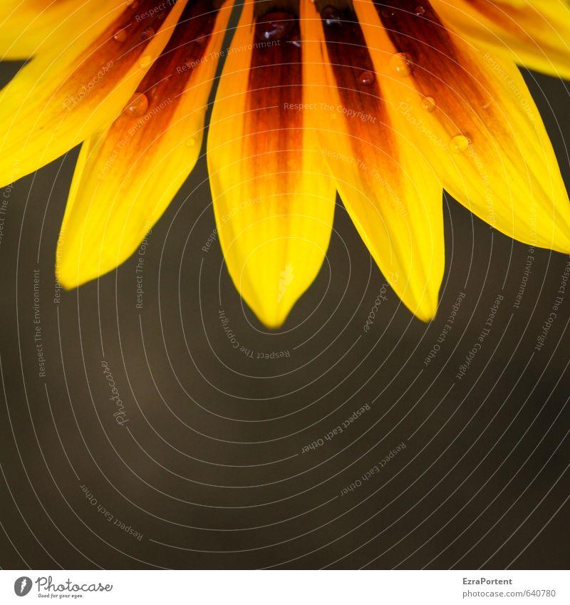 mit Tau Umwelt Natur Pflanze Frühling Sommer Blume Blüte Garten ästhetisch natürlich schön gelb orange schwarz Tropfen Wassertropfen Blütenblatt Floristik