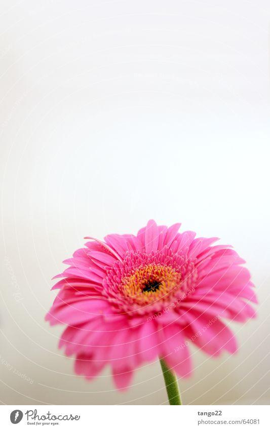 magenta flower II Blume Gerbera rosa Blüte Stengel Verlauf Frühling einzeln Vor hellem Hintergrund weiße wand grüner stengel grüner stiel Freude Blühend orange