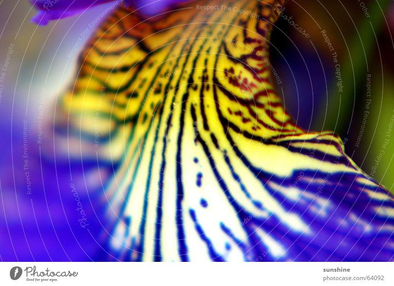Lilly Blume Pflanze gelb Linie violett Lilien